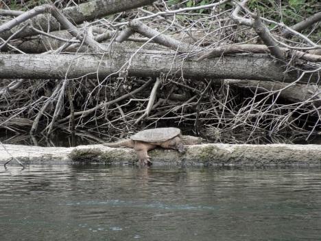 vermont turtle 2 001