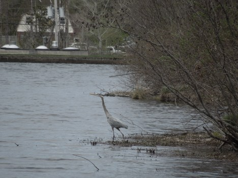 great heron, 2013 001