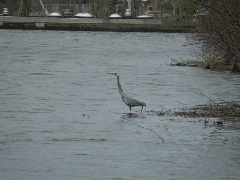 great heron, 2013 002