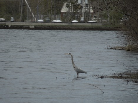 great heron, 2013 003