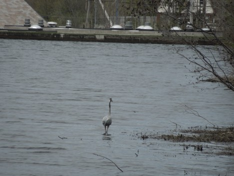 great heron, 2013 005