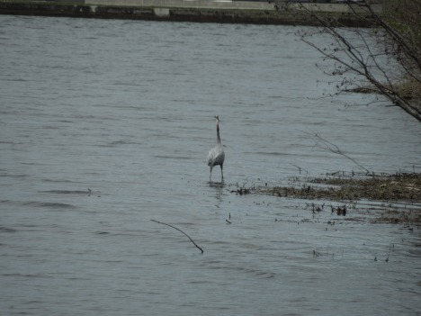 great heron, 2013 006