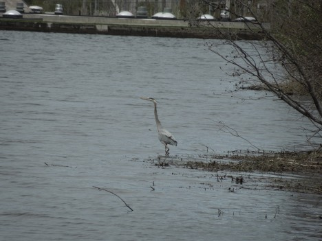 great heron, 2013 007