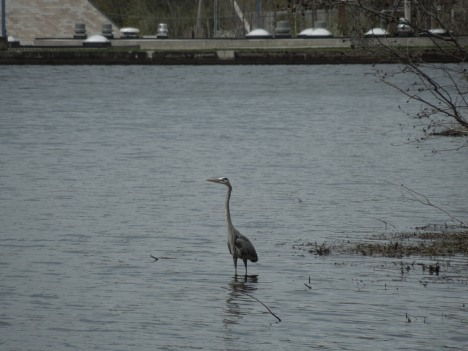 great heron, 2013 008