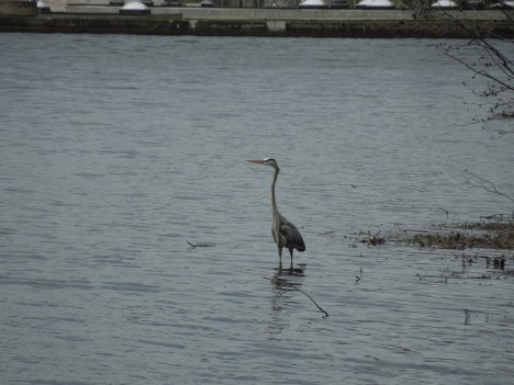 great heron, 2013 009
